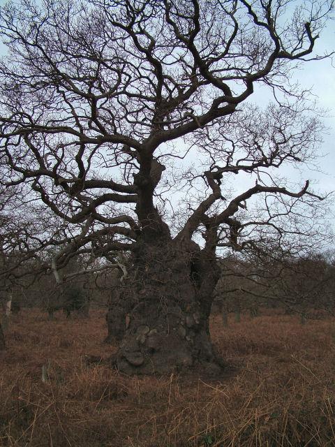 Fantastically Twisted Oak in Staverton Park