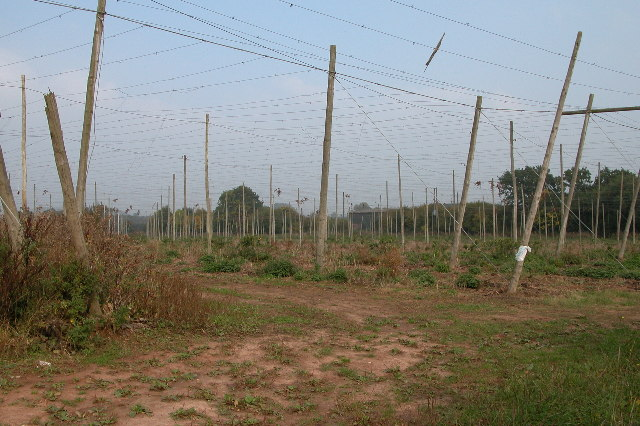 Hop field at Cold Green
