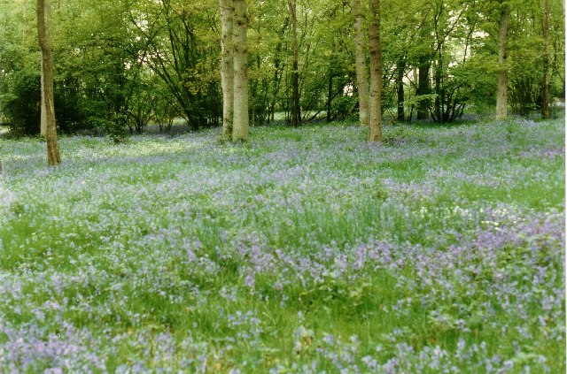 Bluebells in Crabfold Copse