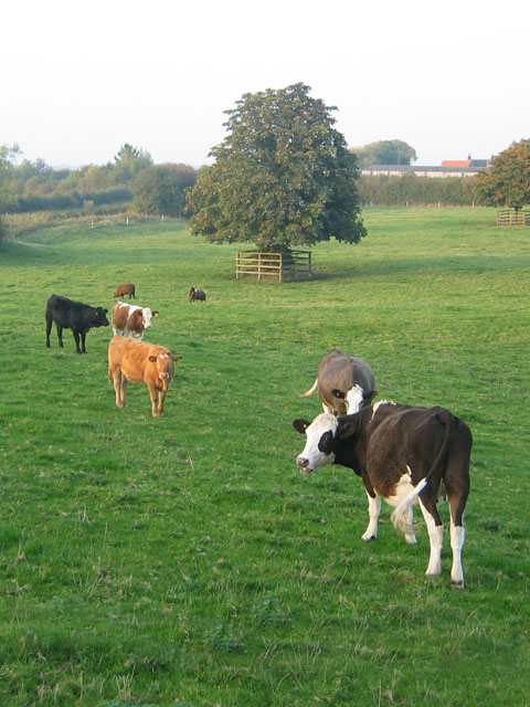 Plungar Cows, Vale of Belvoir, Leicestershire