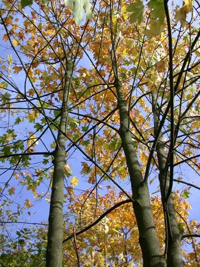 Autumn trees, Orton Pits