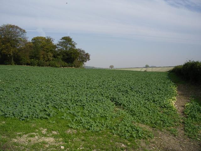 Field of brassicas off Fair Lane