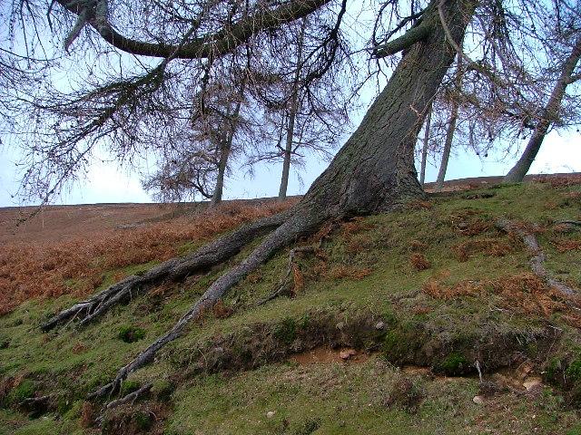 Weather Trained Tree, Glen Dye