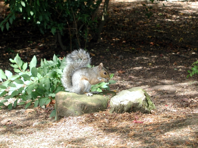 Grey Squirrel, Jephson Gardens, Leamington Spa