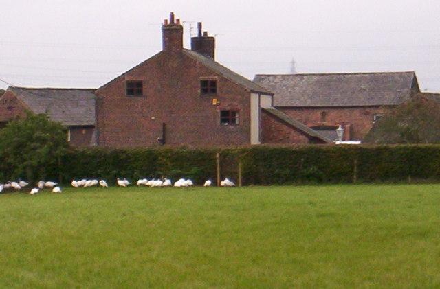 Poplar Farm, Daresbury, with geese