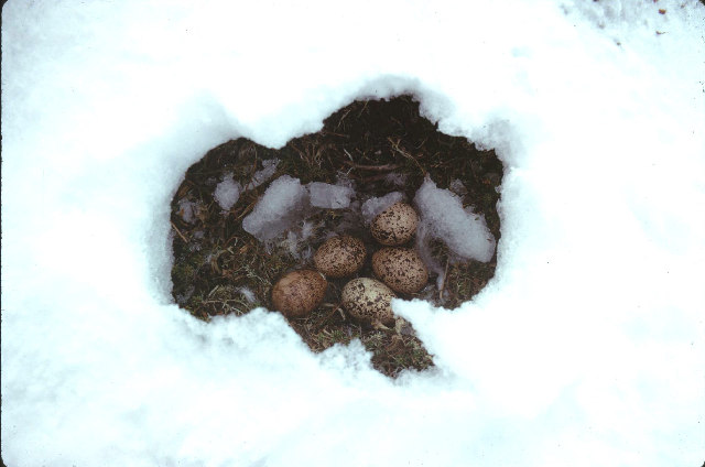 Ptarmigans nest