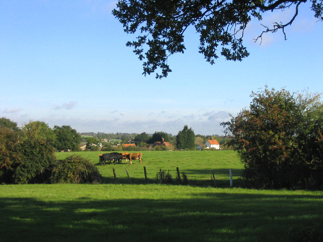 Grazing Cattle, Margaretting Tye, Essex