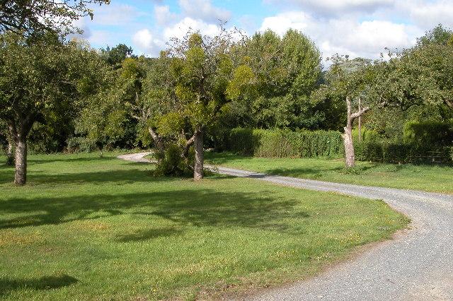 Mistletoe in a mature orchard near Putley