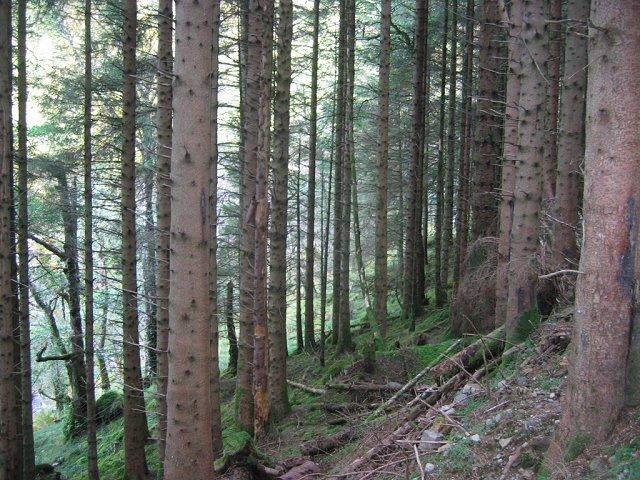Spruce plantation. Glen Chia-aig