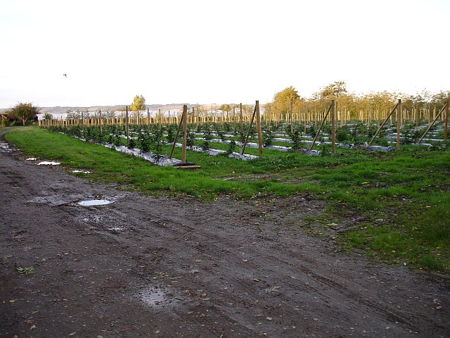 Raspberry canes and polytunnels