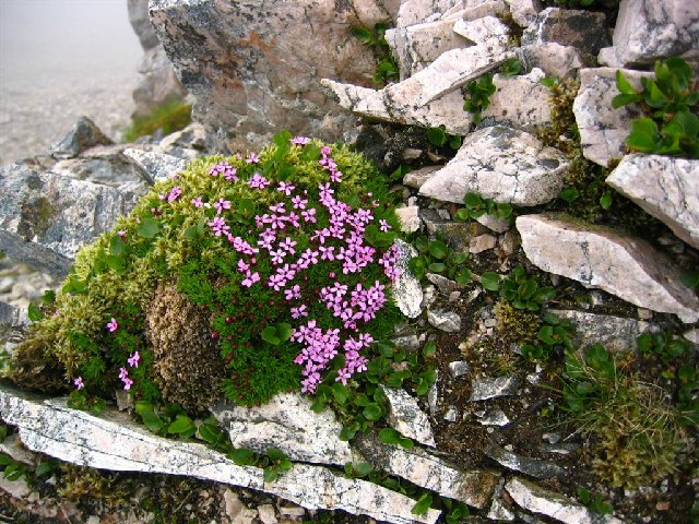 Moss Campion on Sgurr Ban