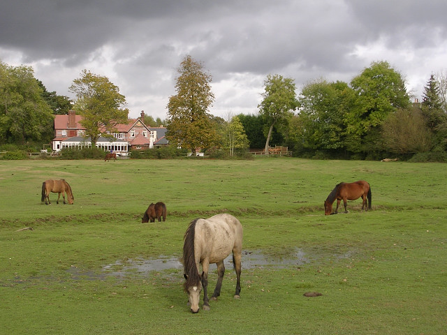 Grazing ponies, Ashurst, New Forest