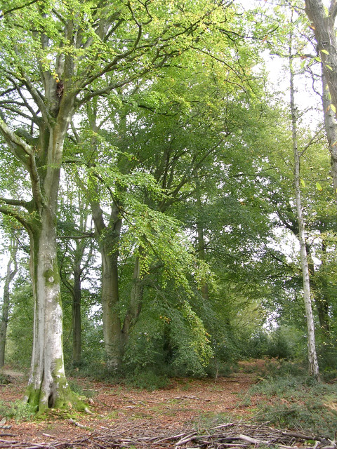 Beech trees in the Churchplace Inclosure, New Forest