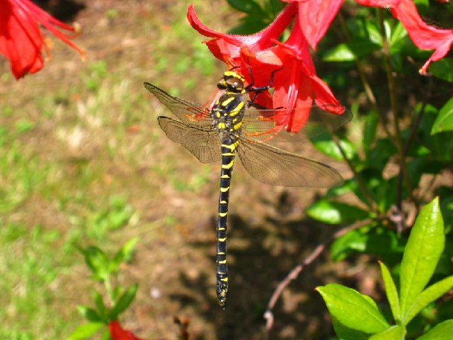Golden-ringed Dragonfly on Fuchsia in Attadale Gardens