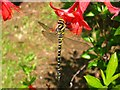NG9239 : Golden-ringed Dragonfly on Fuchsia in Attadale Gardens by David Crocker