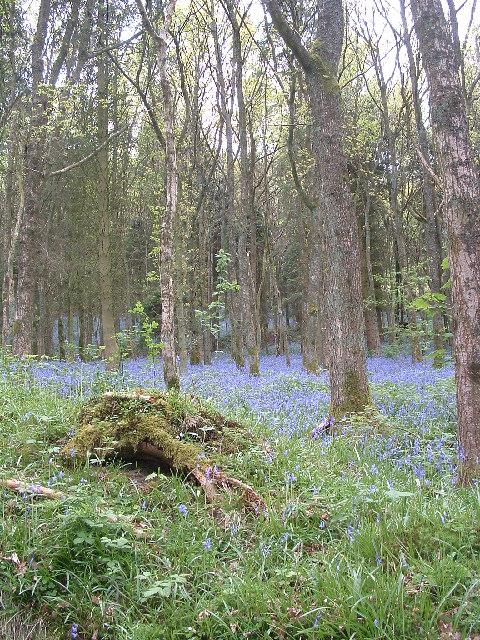 Bluebells - Moelfre
