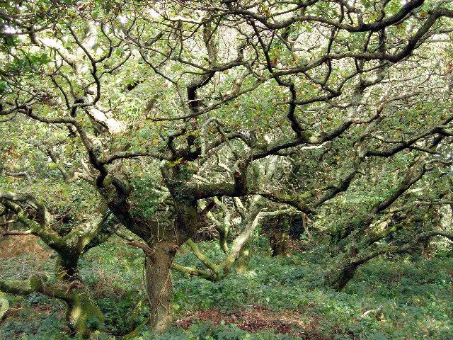 Old oak wood near Goodern Manor Farm