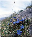 M0903 : Spring gentians and blue moor grass by Dr Charles Nelson