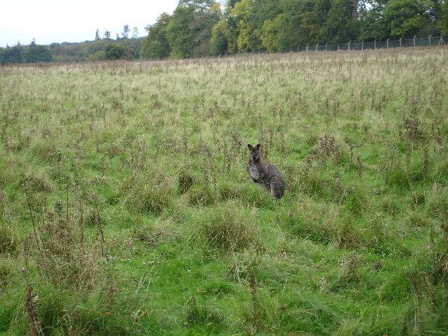 Wallaby at Whipsnade.