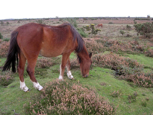 Pony grazing on a bowl barrow, Hatchet Moor, New Forest
