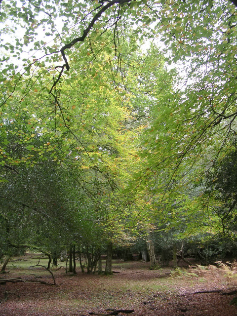 South Bentley Wood in the autumn, New Forest
