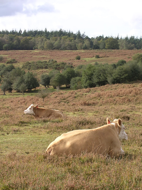 Cattle resting on the edge of Fritham Plain, New Forest