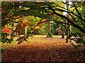 ST8590 : The Acer Glade: Westonbirt Arboretum by Pam Brophy