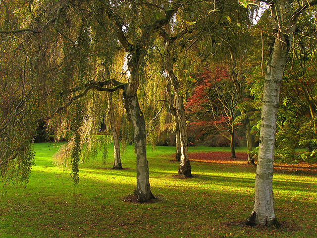 Birches and Acers at Westonbirt