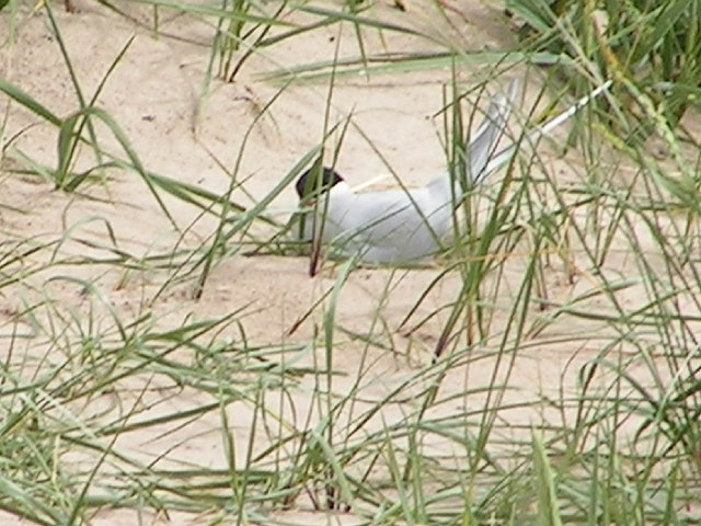 Tern Colony, Beadnell Sand Dunes