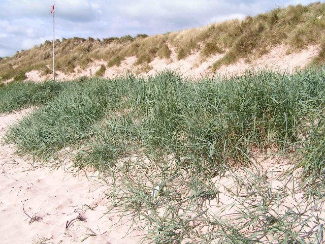 Embryo Dunes, Beadnell dunes