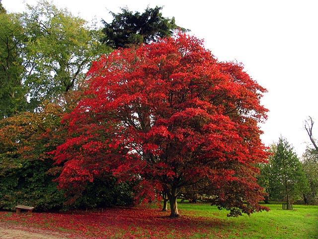 Acer at Down Gate: Westonbirt Arboretum