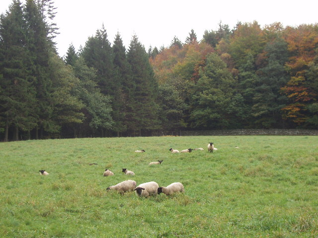 Sheep in Hamsterley Forest