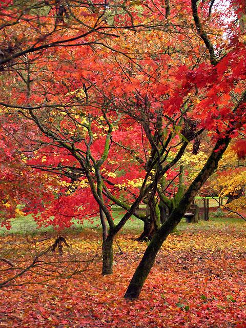 Acer Glade Westonbirt 2004