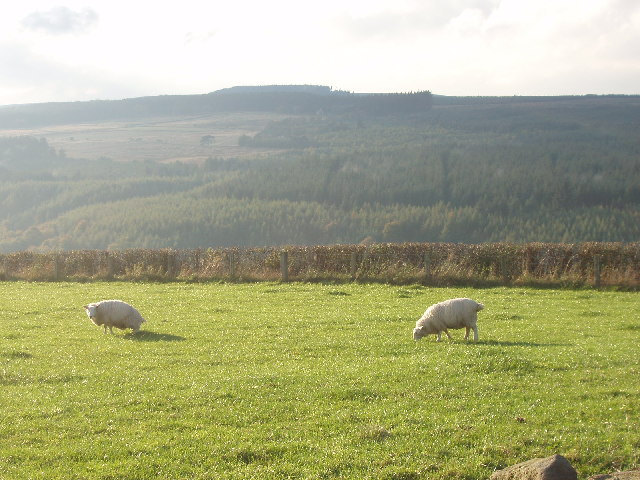 Hamsterley Forest, with sheep