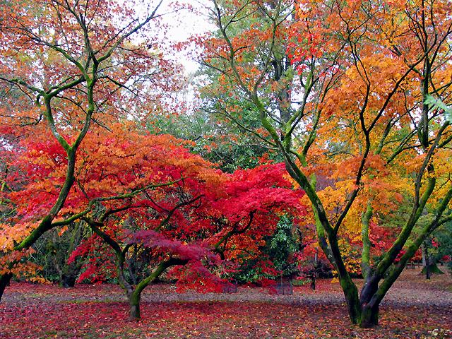 Acer Glade: Westonbirt Arboretum