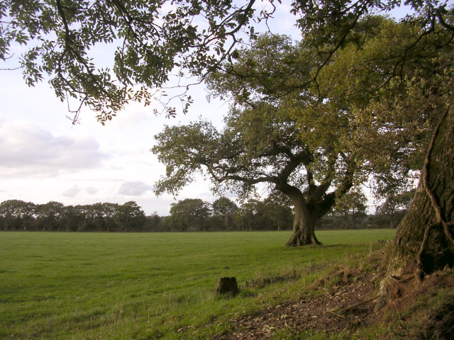 Mature oak in a field at Hedge Corner, Dilton, New Forest