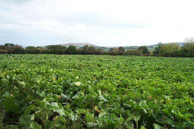 Dartmoor cabbages