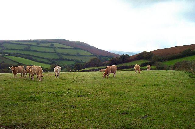 Nattadon cattle - Devon