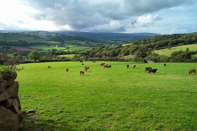 Howton cattle - Moretonhampstead