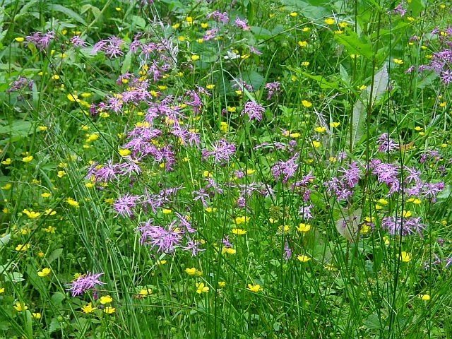 Ragged robin and buttercups