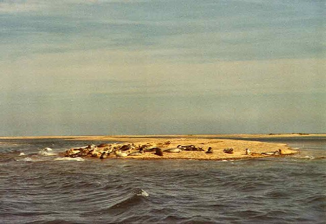 Grey Seals on sand at Blakeney Point, Norfolk