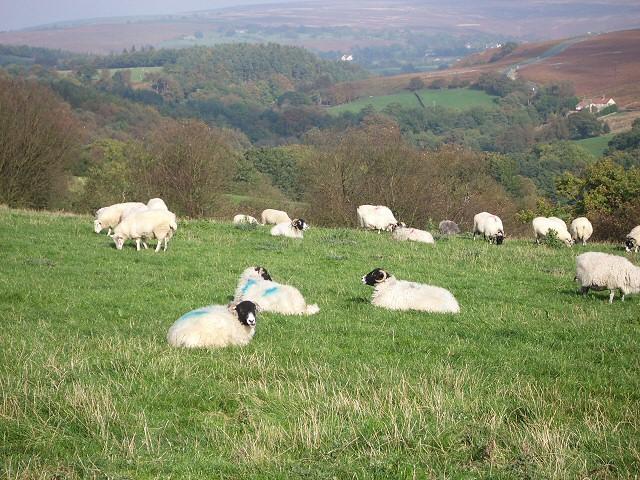 Sheep near Hazel Head Farm
