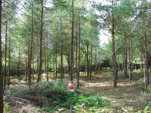 Rivers Wood Pine Plantation, Haywards Heath, West Sussex