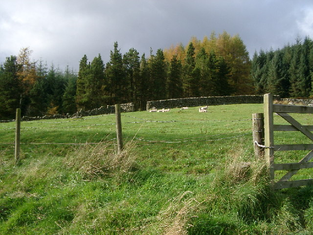 Sheep on Hill, Laggan O' Dee