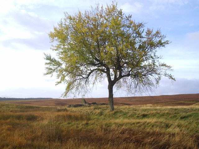 A tree and an old croft ruin at Rhian