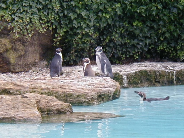 Penguins at Chessington World of Adventures