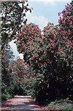 R9219 : Rhododendron arboreum in the Galtee Mountains. by Dr Charles Nelson