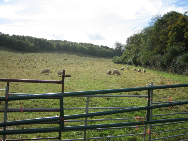 Field of sheep, looking south