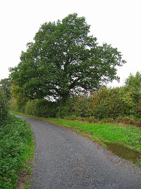 Oak tree, Wickham Lane