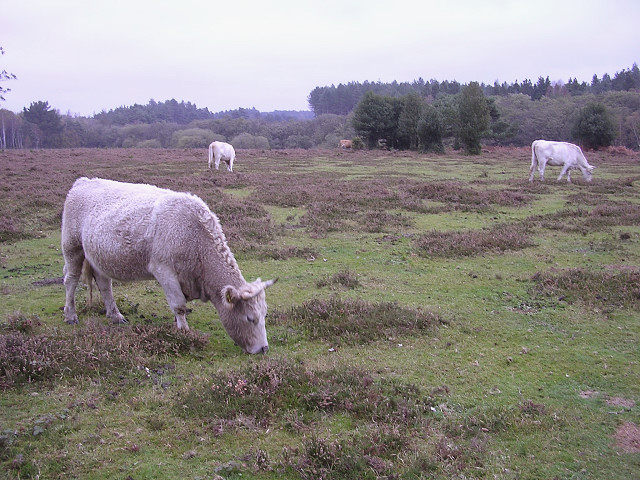 Cattle grazing south of the Deerleap Inclosure, New Forest